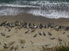 Elephant Seals at Point Reyes