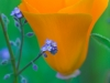 California Poppy and Forget-Me-Nots